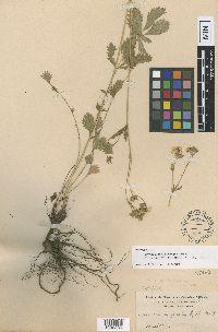 Drymocallis gracilis image