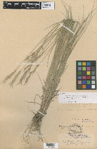 x Pseudelymus saxicola image