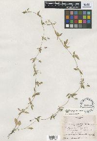 Eryngium prostratum var. disjunctum image