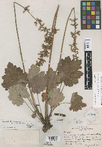 Image of Heuchera richardsonii