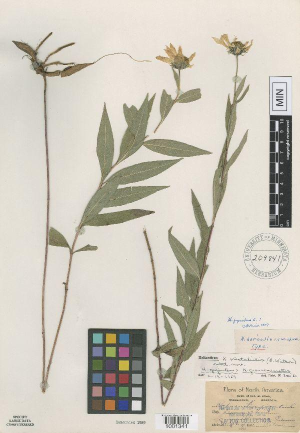 Helianthus borealis image