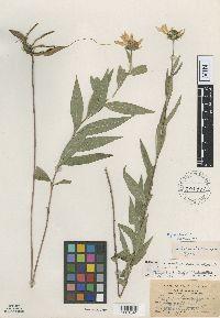 Image of Helianthus borealis