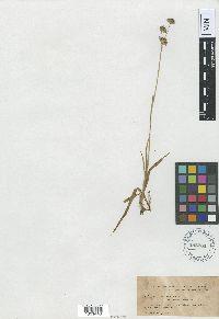 Juncus longistylis var. latifolius image