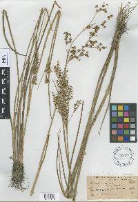 Juncus acuminatus var. robustus image
