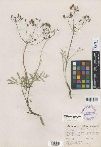 Image of Lomatium idahoense
