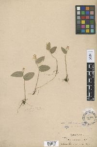 Image of Maianthemum canadense