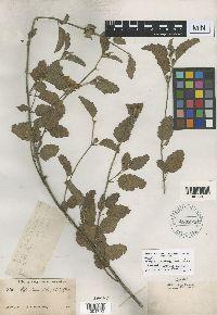 Image of Malva aurantiaca