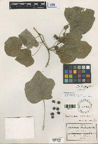 Image of Menispermum canadense
