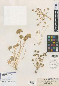 Claytonia latifolia image