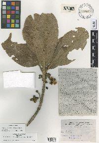 Image of Pelea cruciata