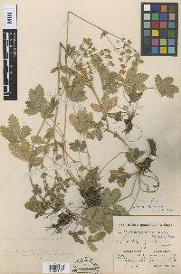 Image of Potentilla amadorensis