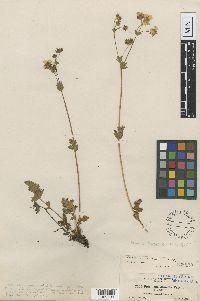 Image of Potentilla cascadensis