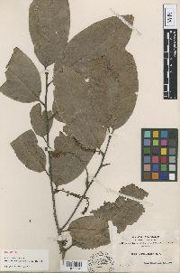 Prunus pearcei image