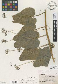 Image of Smilax leptanthera