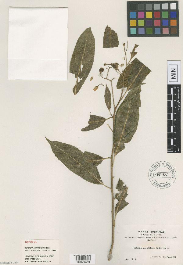 Solanum maturecalvans image