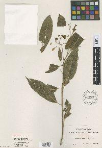 Image of Solanum maturecalvans
