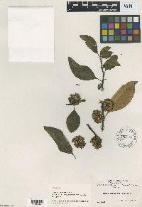 Solanum symmetricum image