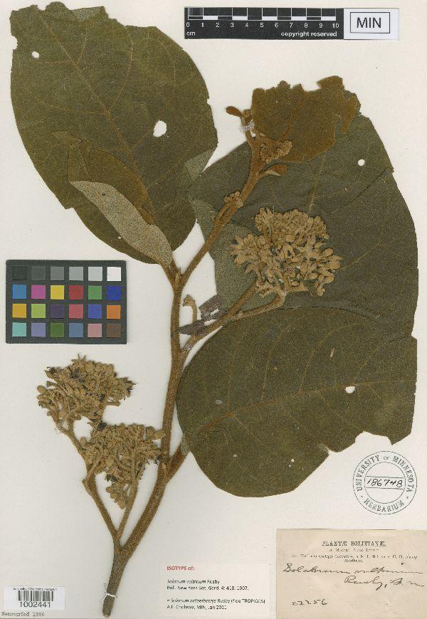 Solanum actaeibotrys image