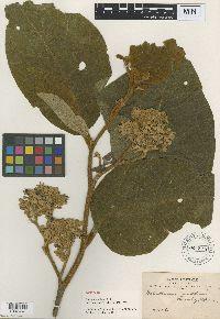 Image of Solanum actaeibotrys