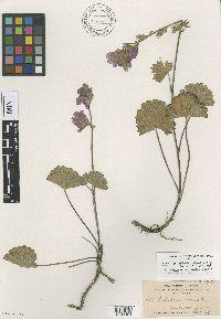 Image of Sidalcea rostrata