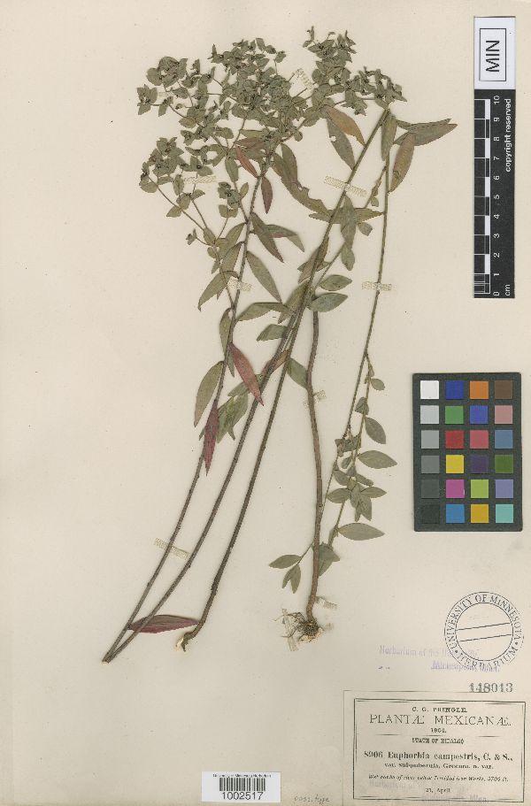 Euphorbia orizabae image
