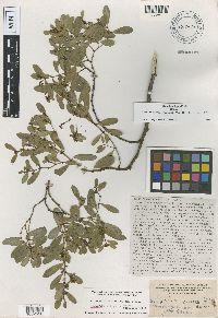 Image of Euphorbia atrococca