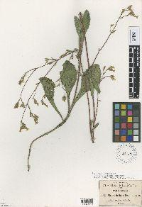 Stevia alatipes image