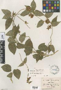 Matelea gonoloboides image