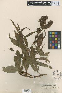 Rumex ellipticus image