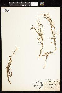 Cardamine curvisiliqua image