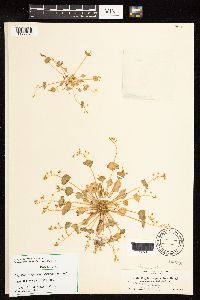 Claytonia parvifolia image