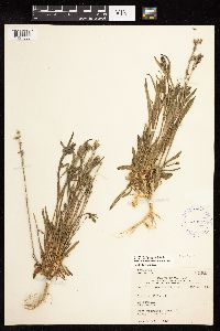 Image of Lychnis gillettii