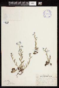 Myosotis arvensis image