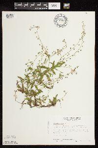 Myosotis laxa image