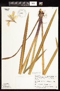 Image of Iris versicolor