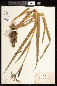 Iris versicolor image