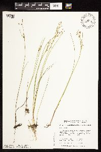 Image of Juncus alpinoarticulatus