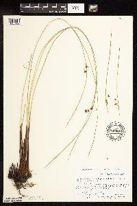 Juncus arcticus image