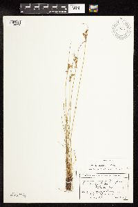 Image of Juncus vaseyi