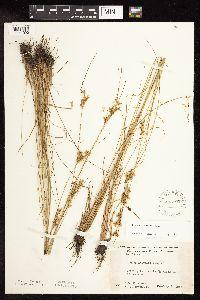 Juncus interior image