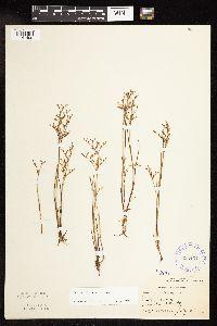Juncus pelocarpus image
