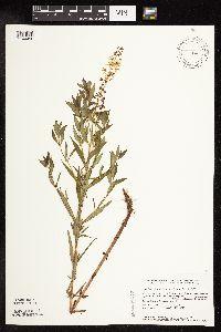 Image of Lysimachia terrestris