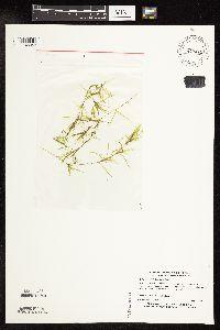 Image of Najas flexilis
