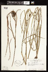Sparganium angustifolium image