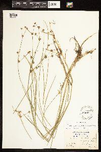 Juncus subcaudatus image