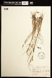Juncus tenuis image