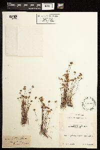 Juncus triformis image