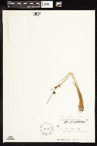 Juncus arcticus subsp. alaskanus image