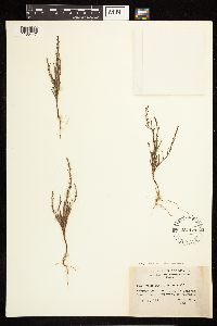 Polygonum sawatchense subsp. sawatchense image