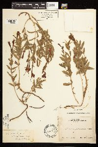 Epilobium canum subsp. angustifolium image